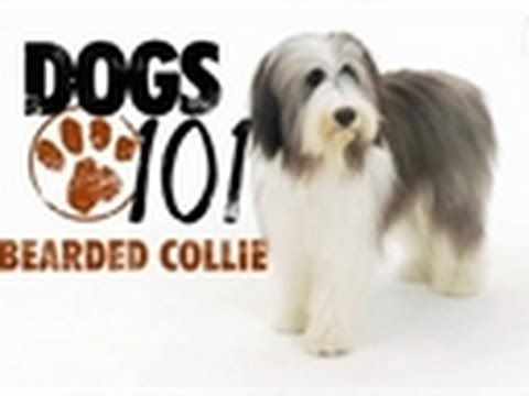 Dogs 101 Bearded Collie Youtube That S My Sadie