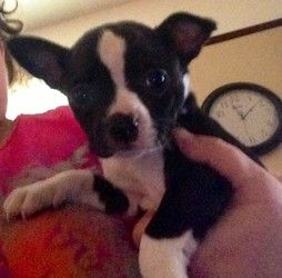 Adopt Yogi On Chihuahua Mix Puppies Boston Terrier Chihuahua Mix