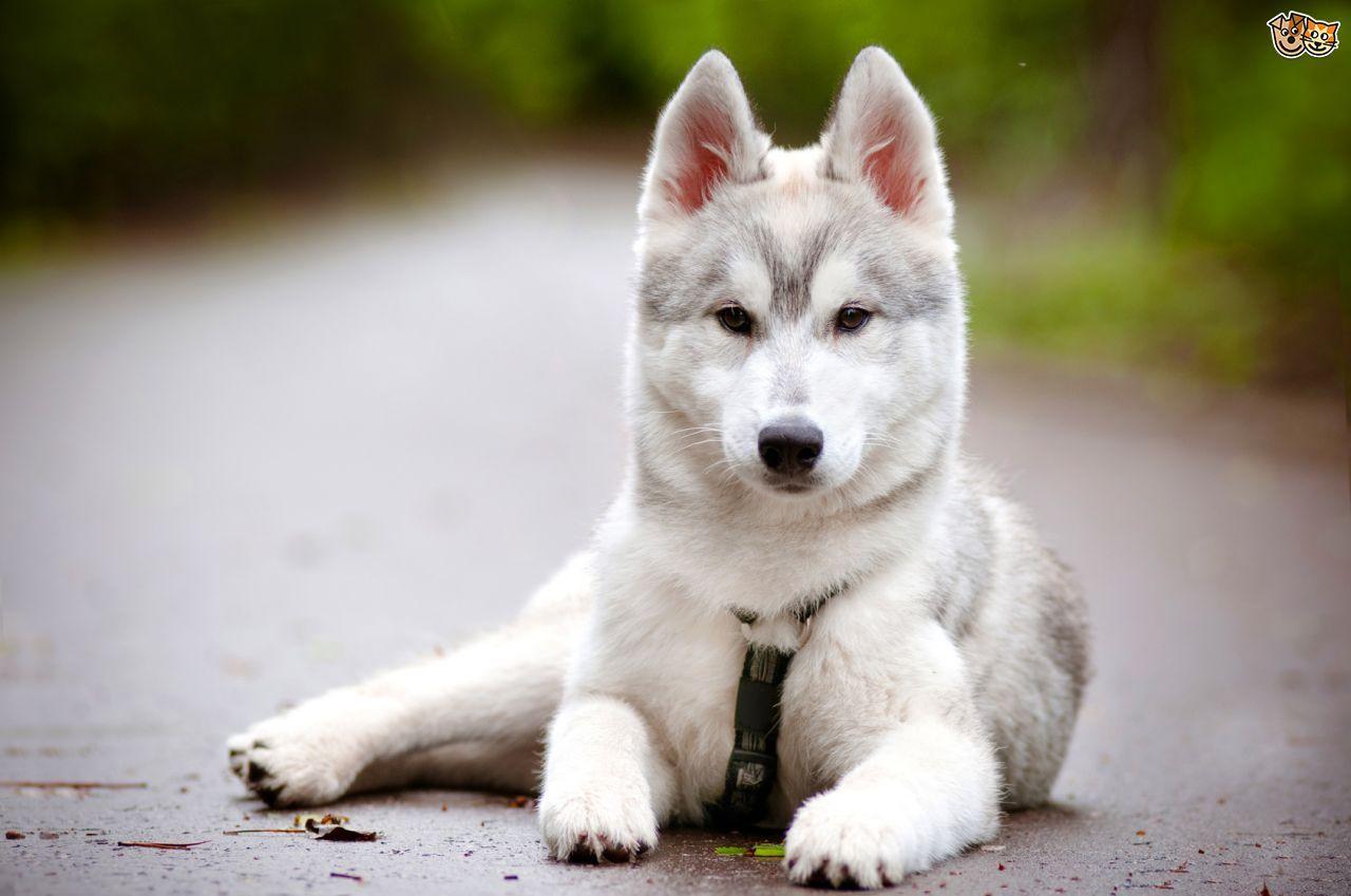 The Husky S Howl Photo Siberian Husky Dog Husky Puppy Dogs