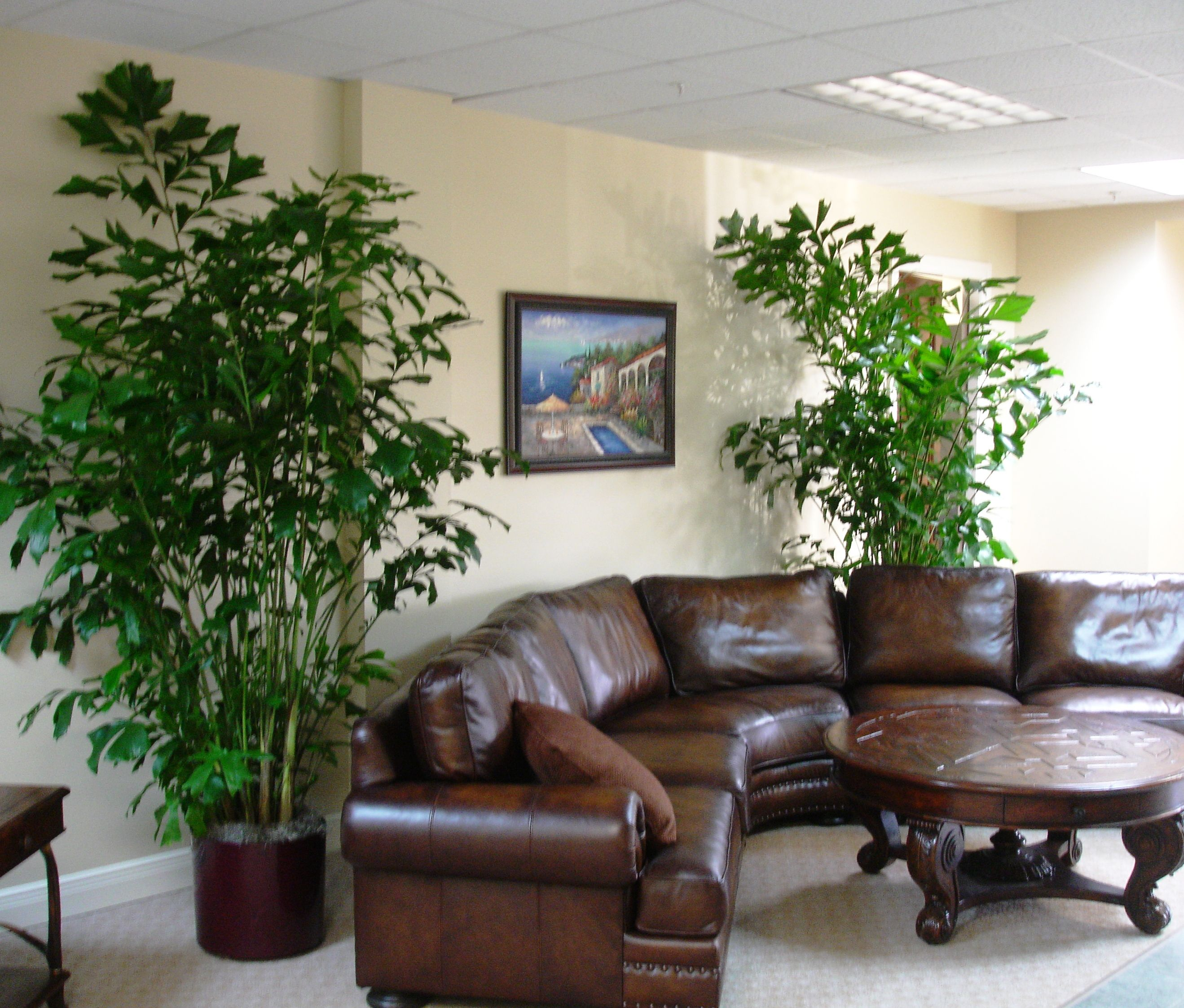 Masculine Decor fishtail palms do very well indoors, these soften up a masculine