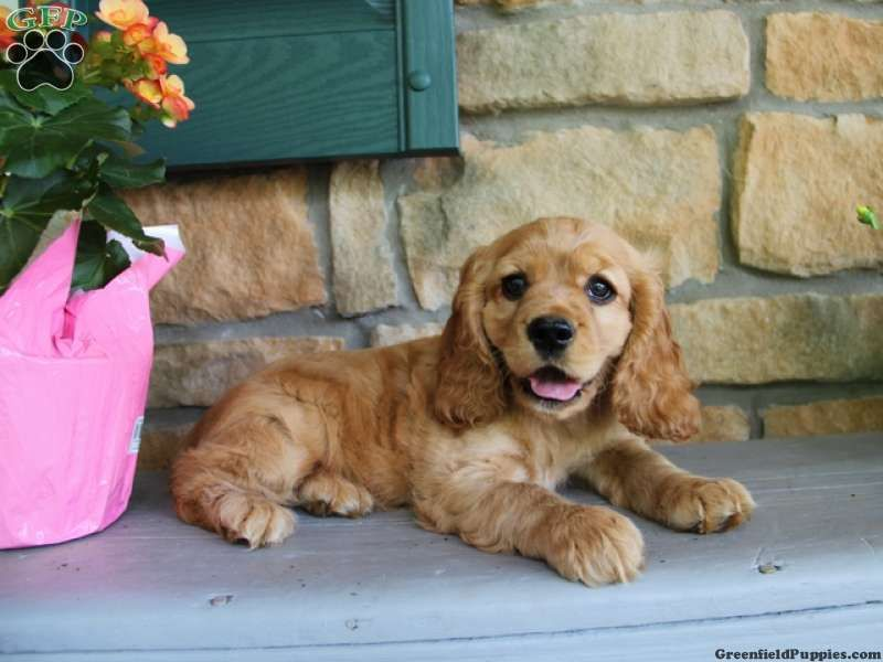 Serena Cocker Spaniel Puppy For Sale In Pa Cocker Spaniel Puppies Spaniel Puppies For Sale Greenfield Puppies
