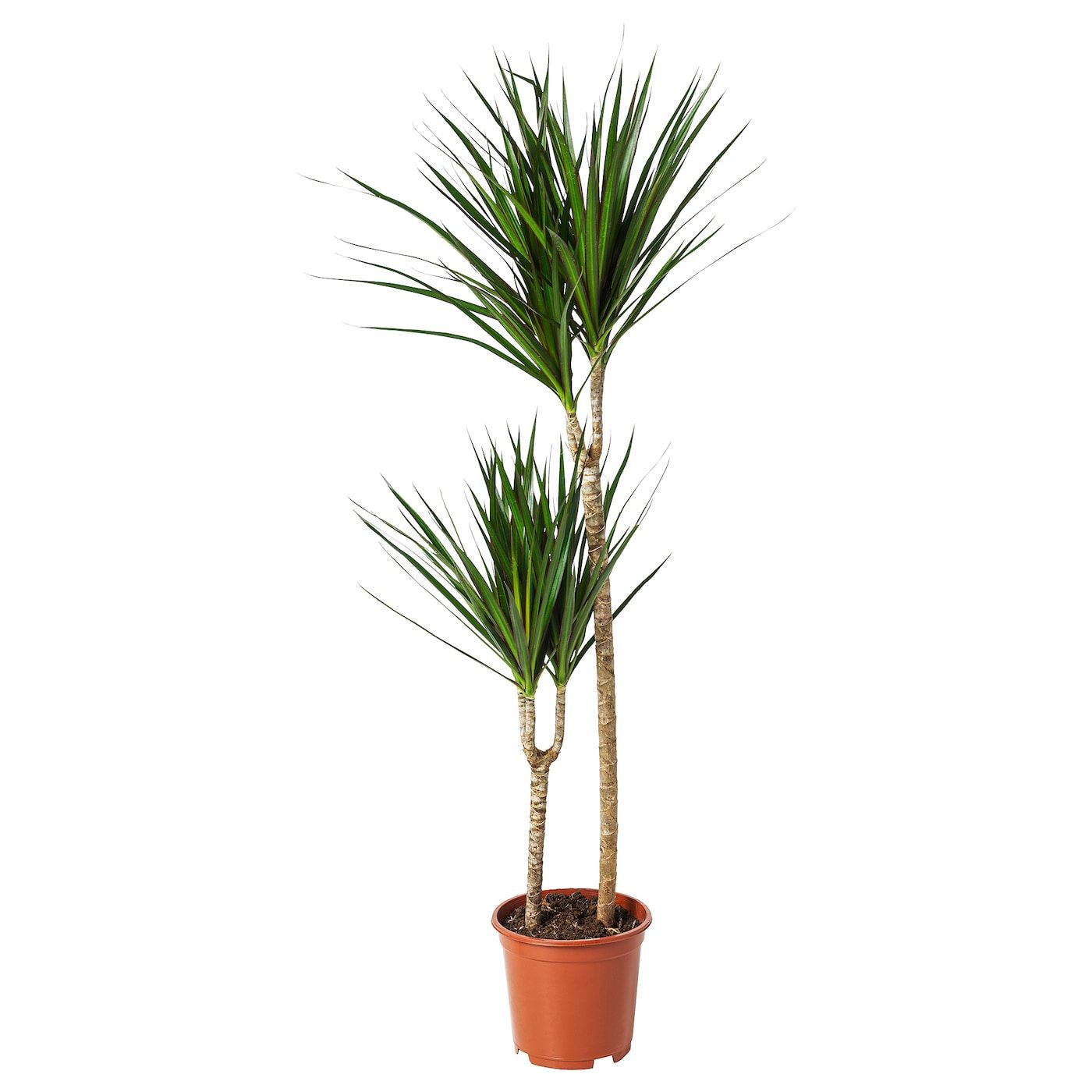 Dracaena Marginata Pflanze Drachenbaum 2 Stamme 19 Cm Ikea Osterreich Potplanten Planten Kunstplanten
