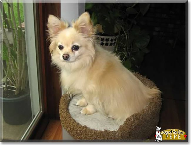 Pepe The Chihuahua The Dog Of The Day Dawgs Chihuahua