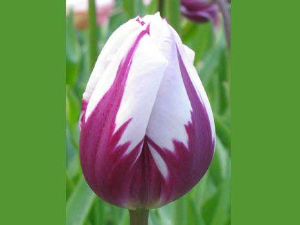 Тюльпаны луковицы купить розница заказ цветов букеты цветы заказать цветы