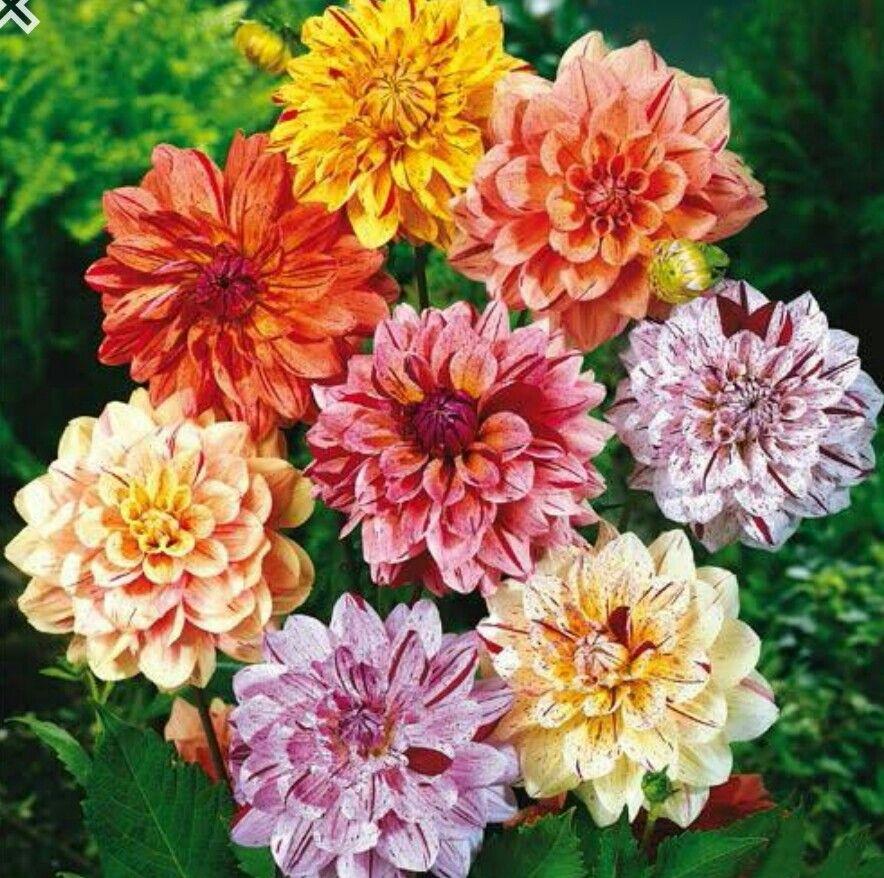 Dahlia Rembrandt Dahlia Mix Bulb Flowers Dahlia Flower Dahlia