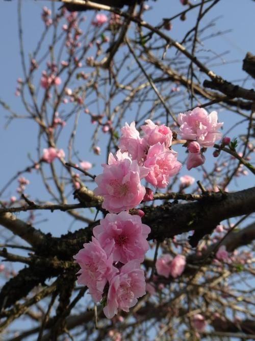 Japan Sakura Japan Sakura Cherry Blossom Tree Sakura