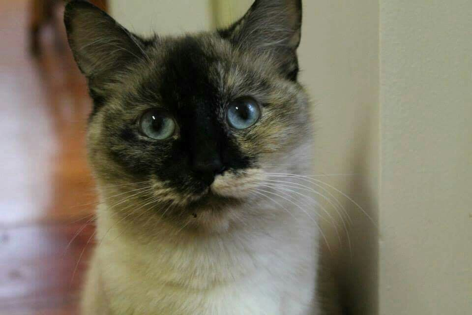 Pin by Lavender Took on Tortie Point Siamese Cats