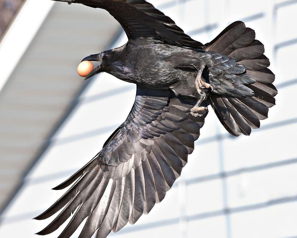 raven prying with beak raven walking raven carrying egg raven ...