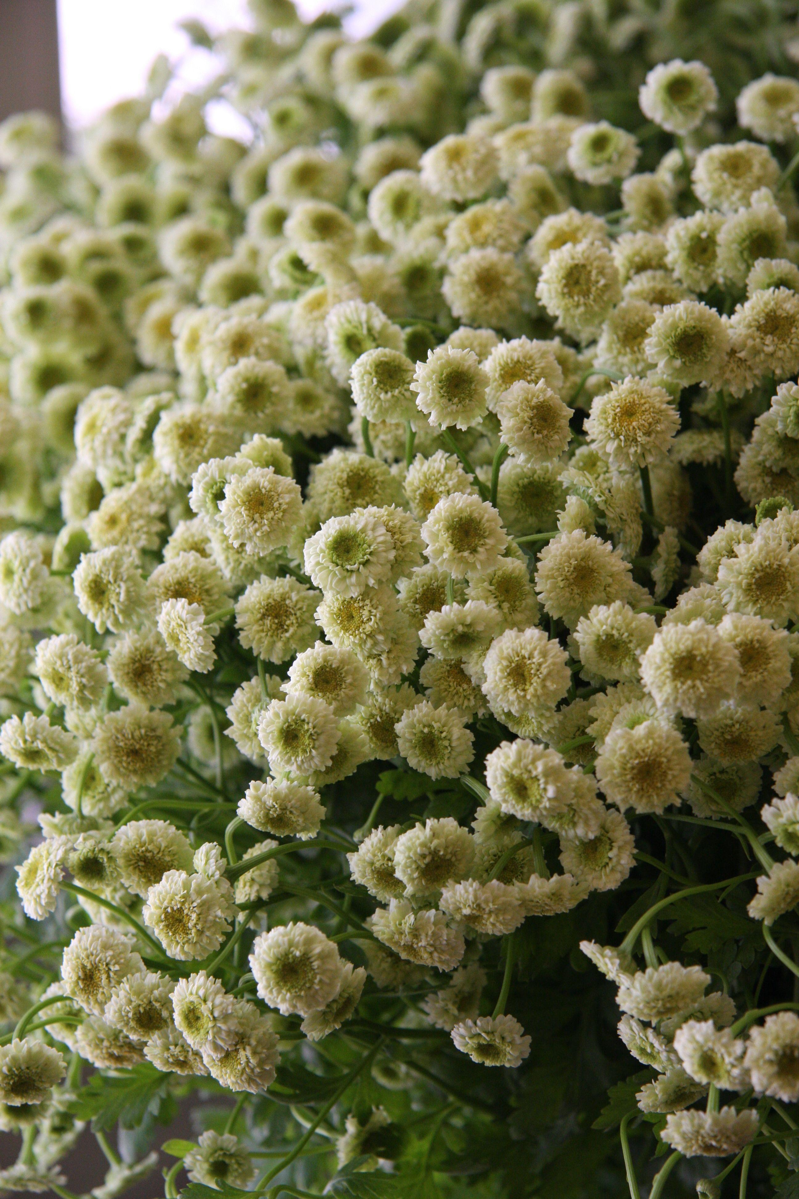 Matricaria Plants, Flower power, Flowers