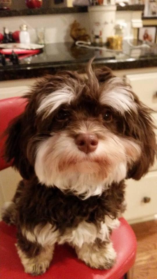 Byrdie I Love Her Eyebrows Havanese Dogs Cute Dogs Havanese