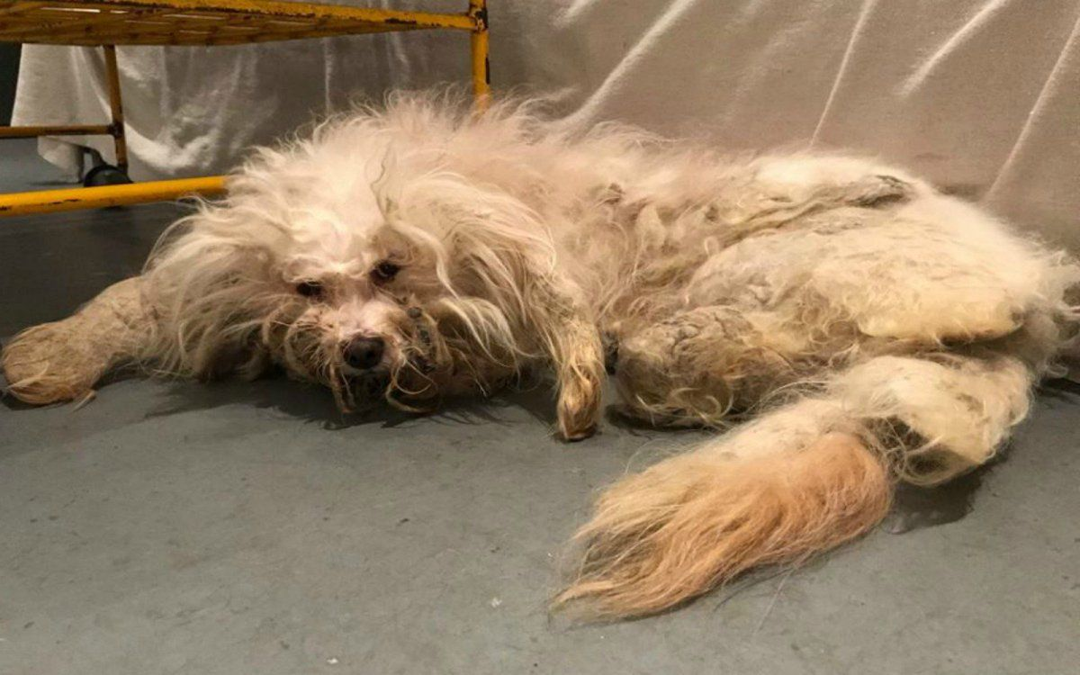Rescuers Help Rehabilitate Scared And Matted Dog And Now She Has A Forever Home Best Dog Toys Dog Rescue Stories Dog Toys Indestructable