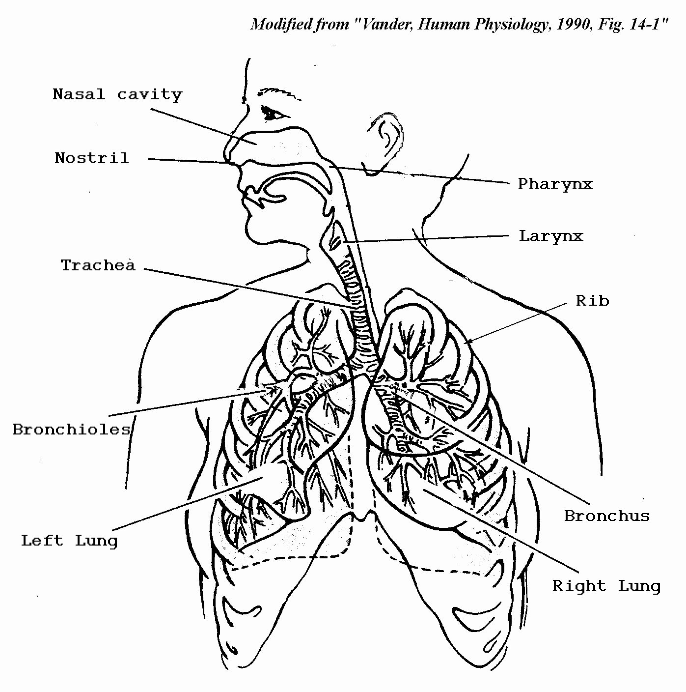 The Human Body Coloring Book Awesome Respiratory System Coloring Page