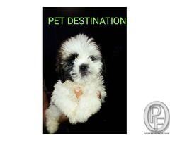 Best Small Breed To Buy Are Shih Tzu In Mumbai Maharashtra India In Pet Animals And Accessories Category Under Budget 29999 00 In With Images Small Breed Shih Tzu Breeds