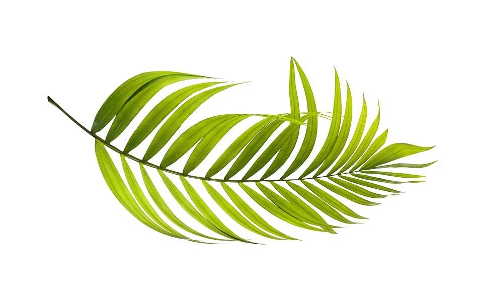 Free Image On Pixabay Palm Leaf Green Botany Tropical Bonsai Palm Tree Botany Leaf Illustration