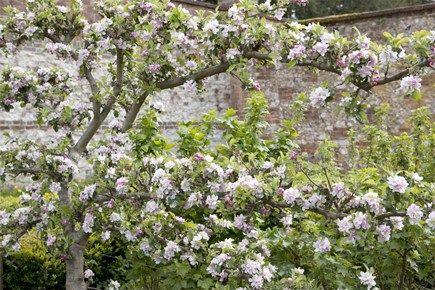 Create An Espalier Fruit Tree Screen Gardenersworld Com Gardenersworld Com Espalier Fruit Trees Fruit Trees Plants