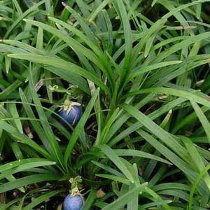 Ophiopogon Japonicus Nana Dwarf Mondo Grass Compact Habit And Glossy Dark Green Leaves Make This Perenn Dwarf Mondo Grass Mondo Grass Ophiopogon Japonicus