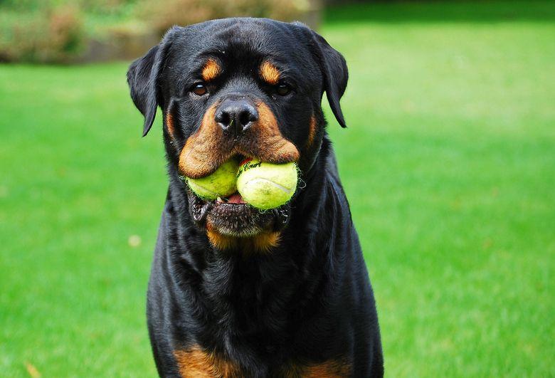 Rottweiler Rottweiler En Ballen Rottweiler Labrador Retriever