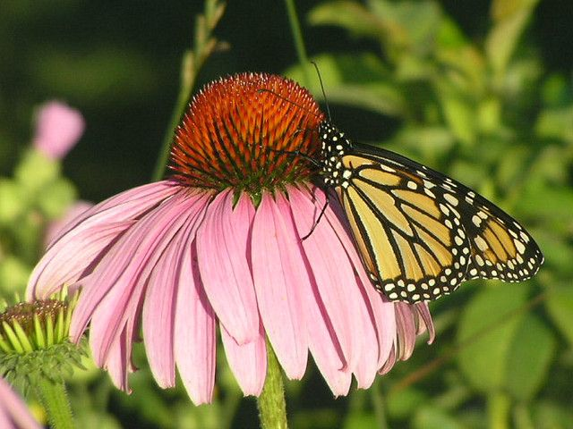 Purple+Monarch+Butterfly | Recent Photos The Commons Getty Collection Galleries World Map App ...