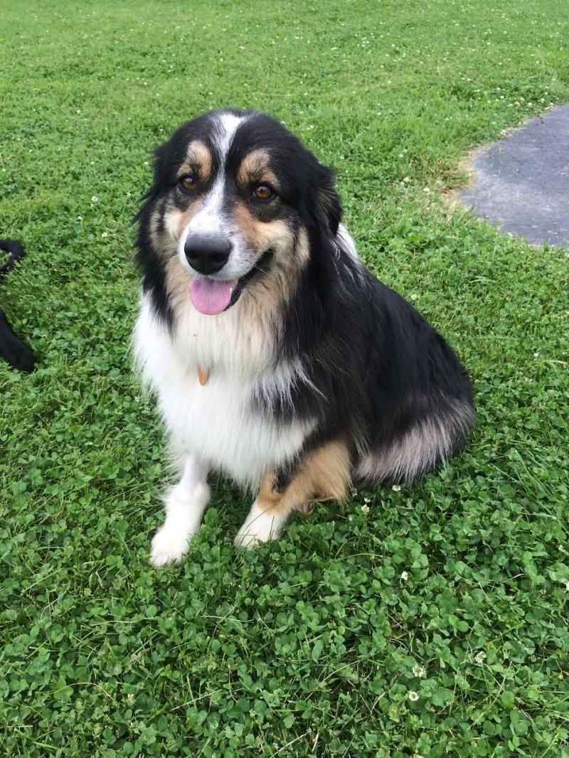 Adopt Chloe on Australian shepherd dogs, Dogs