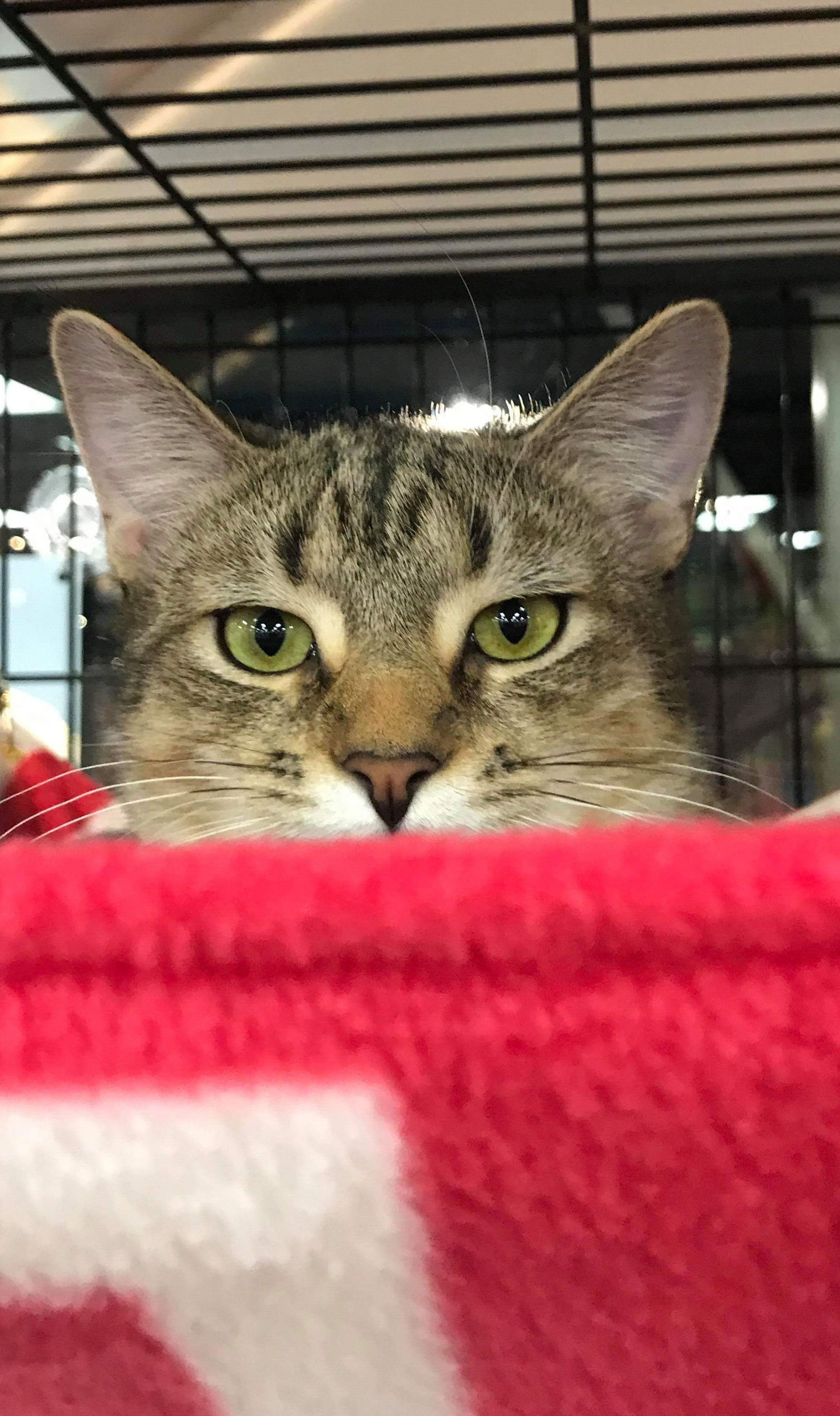 Adopt Jewel On Petfinder Cat Adoption Cat Rescue Cats And Kittens