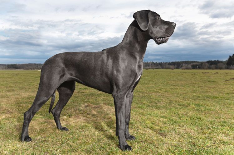 The Great Dane Is The Apollo Of Dogs Learn This Breed S