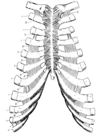 Fig. 13. Ligaments of Ribs and Sternum. | anatomy | Pinterest