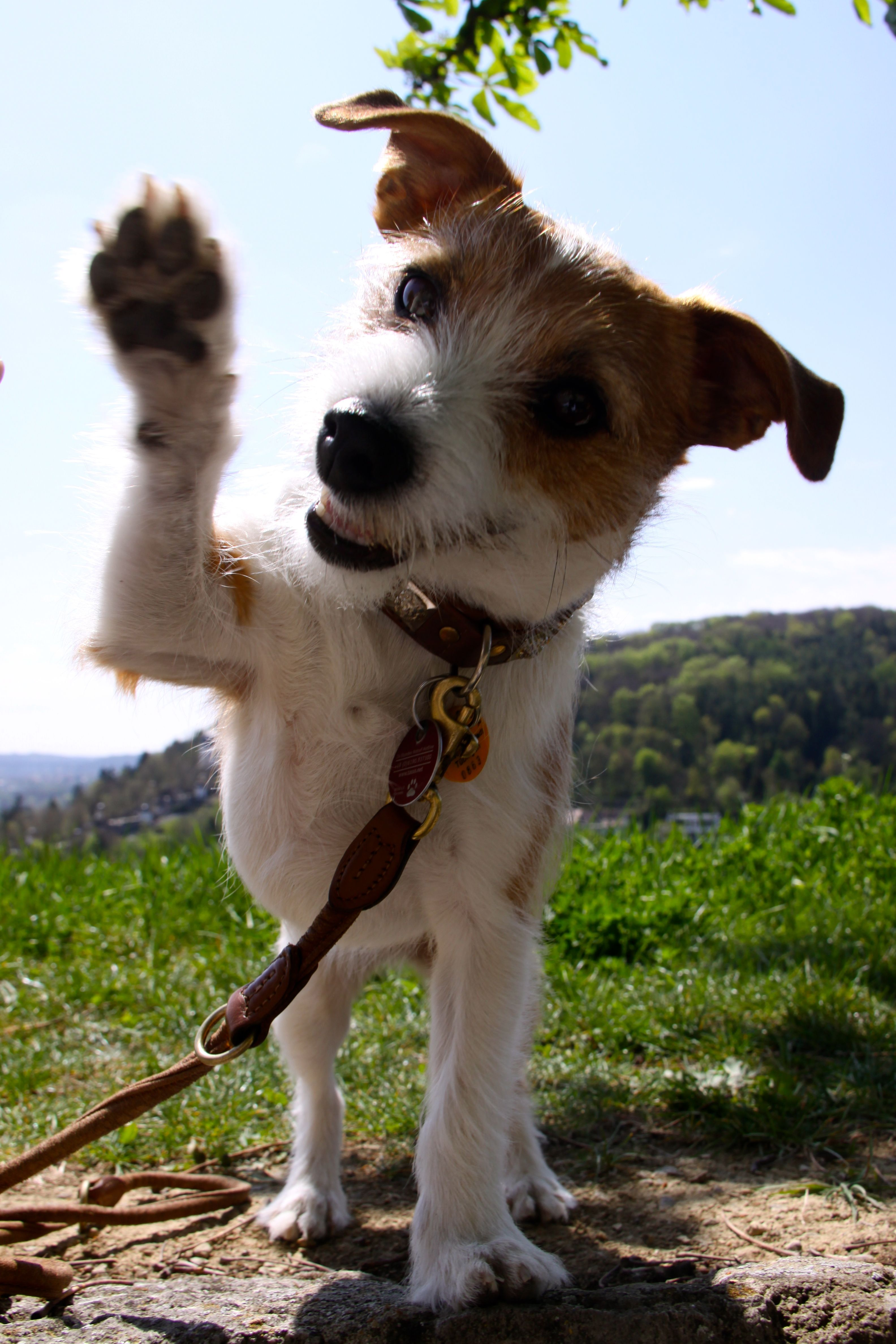 My Lovely Jack Russel Malteser Mix 3 Jack Russell Dogs Jack