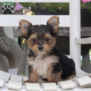 Yorkshire Terrier Puppies for Sale | Greenfield Puppies in ...