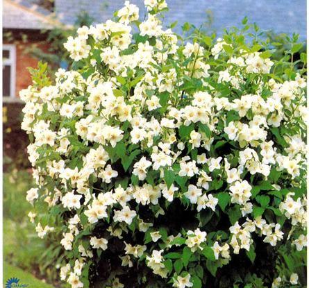 pikkujasmike Belle etoile viihtyy paahteessa ja kukkii tuoksuvin kukin heinäkuussa. Kasvaa suurimmillaan metrin korkuiseksi