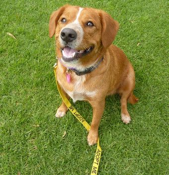 Lady 3 Years Old Located In Western Australia Fantastic Dog Alert This Gorgeous Young Lady Is Looking For A Very Special Fo Dog Pounds Homeless Pets Dogs
