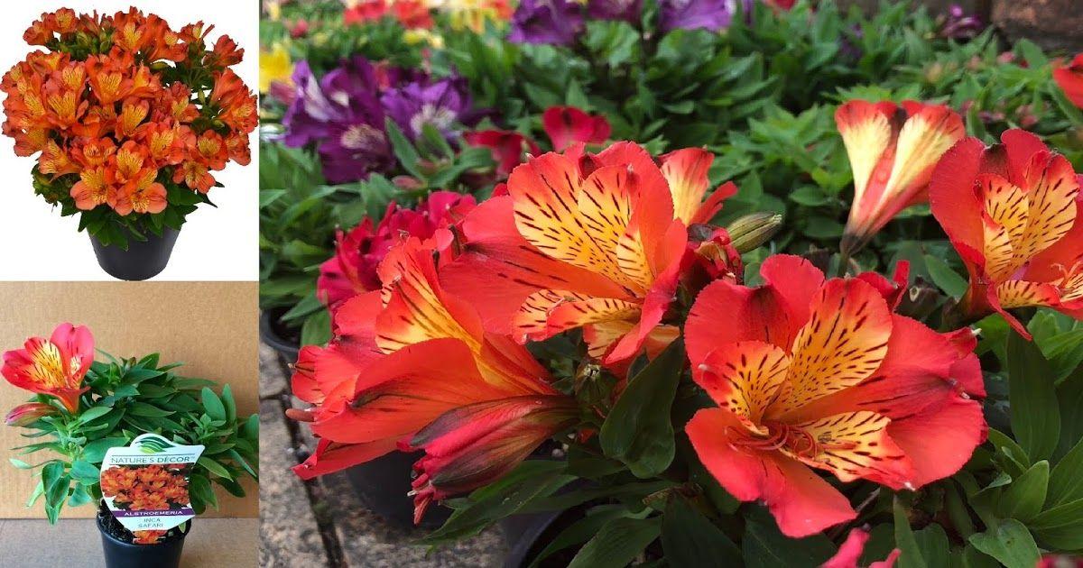 Alstroemeria For Sale Rich Combination Of Flowers That Easily Entices Our Senses Alstroemeria Lily Plants Alstroemeria Plants
