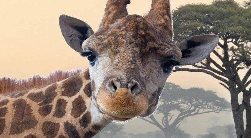 صور حيوانات معدلة عندما تحرم من مميزاتها الشكلية Animals Giraffe Cow