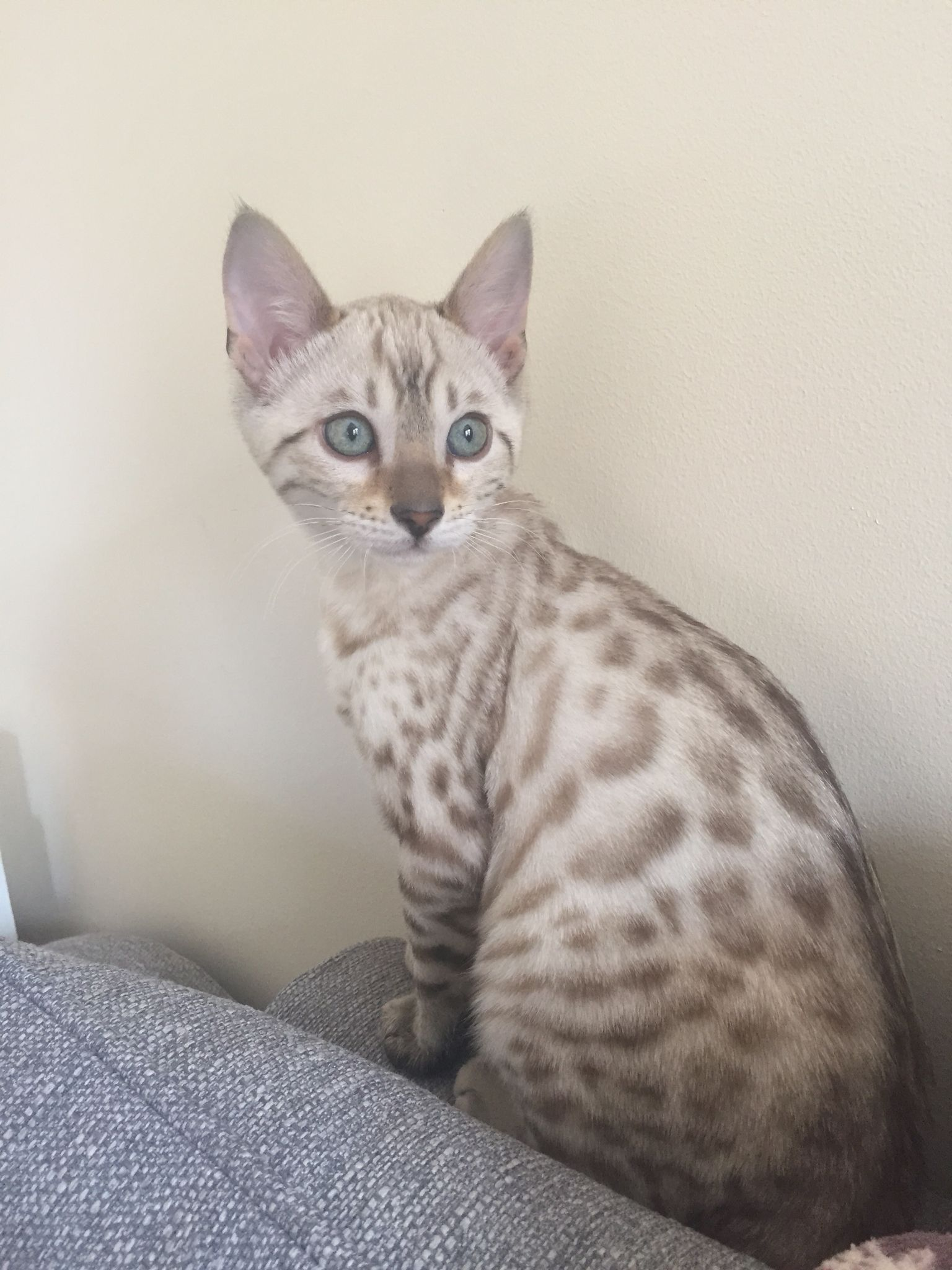 blue eyed snow Bengal kitten | Bengal | Pinterest | Bengal kitten ...