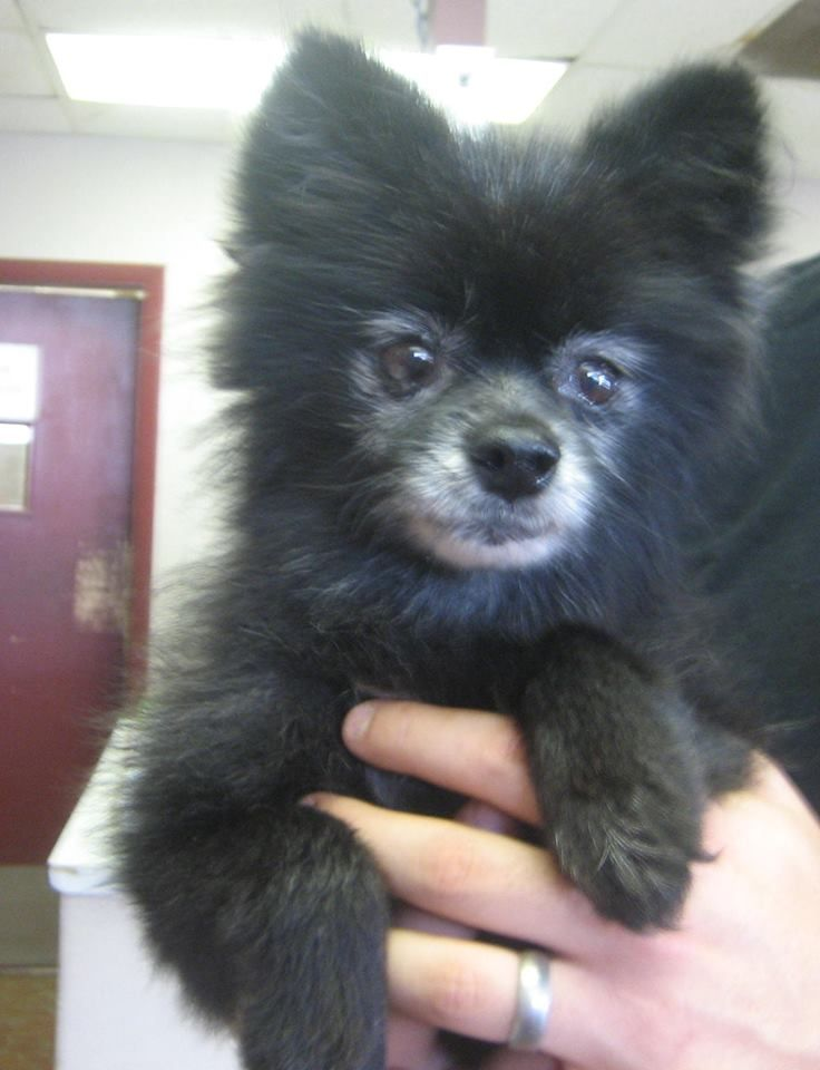 9 Year Old Sweetheart Pom He Is A Doll Contact Tupelo Lee Humane