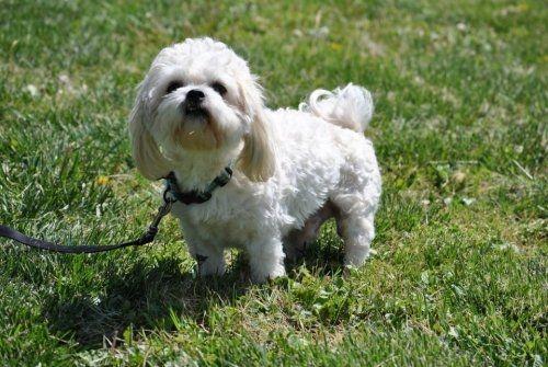 Maltese Shih Tzu Mix Shih Tzu Maltese Mix An Adoptable Dog In Lafayette In In Lafayette Dog Adoption Shih Tzu Maltese Mix Dogs