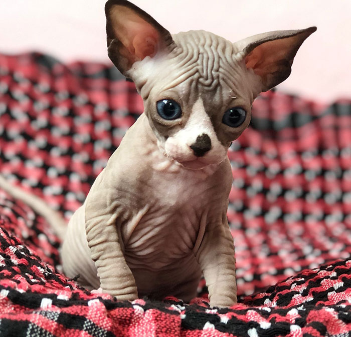 30 Adorable Sphynx Photos To Change Every Sphynx-Haters