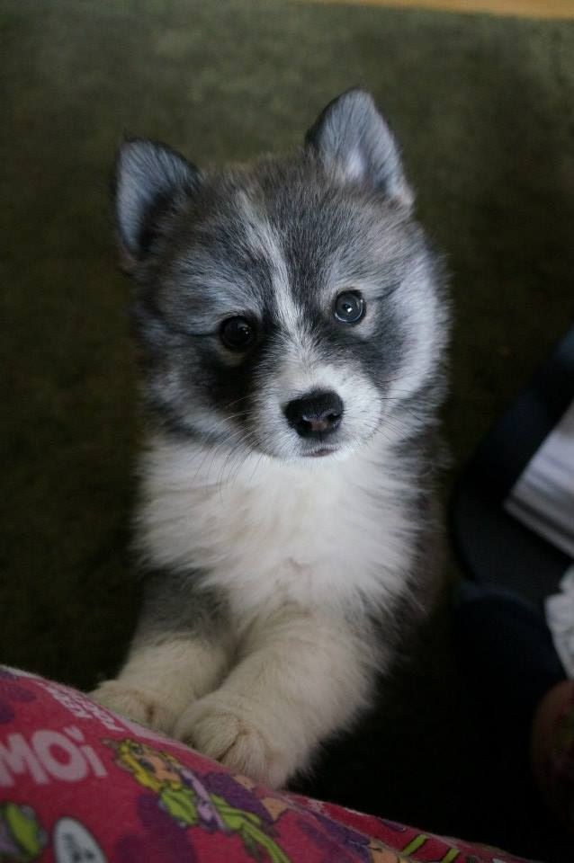 My Next Dog Pomeranian Mixed With A Husky What A Perfect Combination Pomsky Hund Susse Tiere Und Babytiere