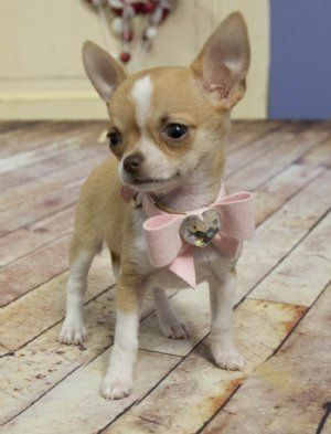 fawn and white chihuahua smooth coat with adorable collar