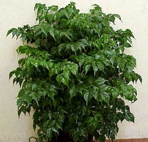 Radermachera Sinica China Doll Plant Indoor Plants