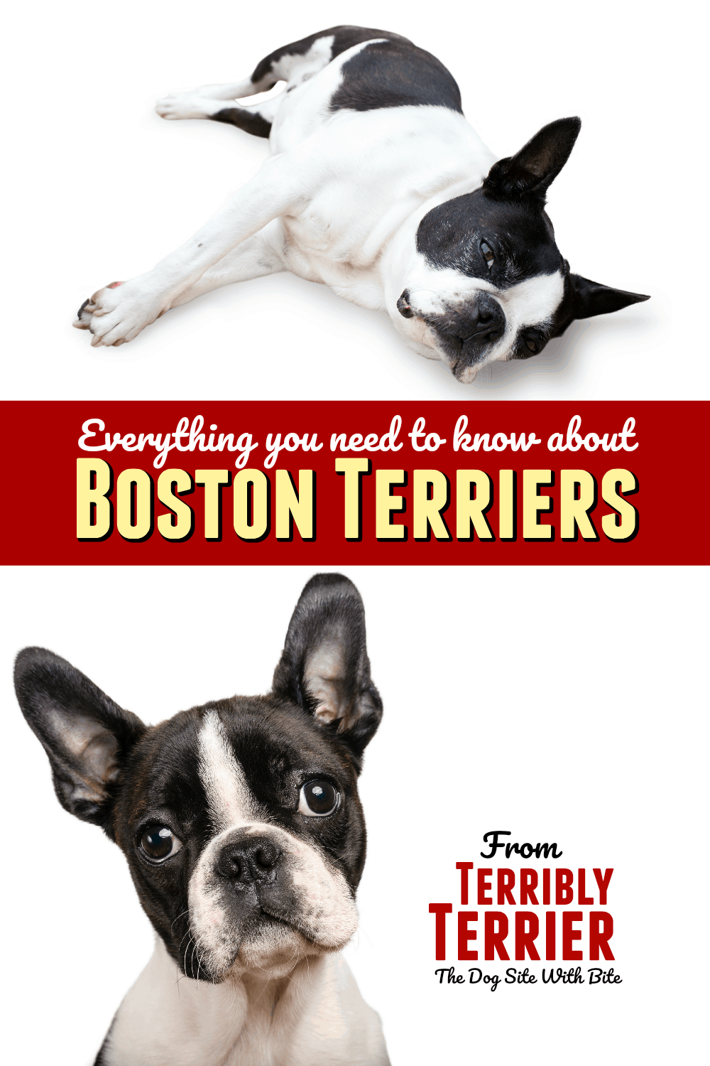 Everything You Need To Know About Boston Terriers Includes Info About Temperament Health Issues Lon Boston Terrier Boston Terrier Funny Boston Terrier Puppy