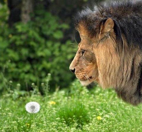 Make a wish lion
