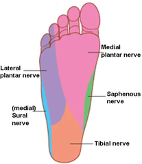print › the leg and foot | quizlet | quizlet | reflexology, Muscles