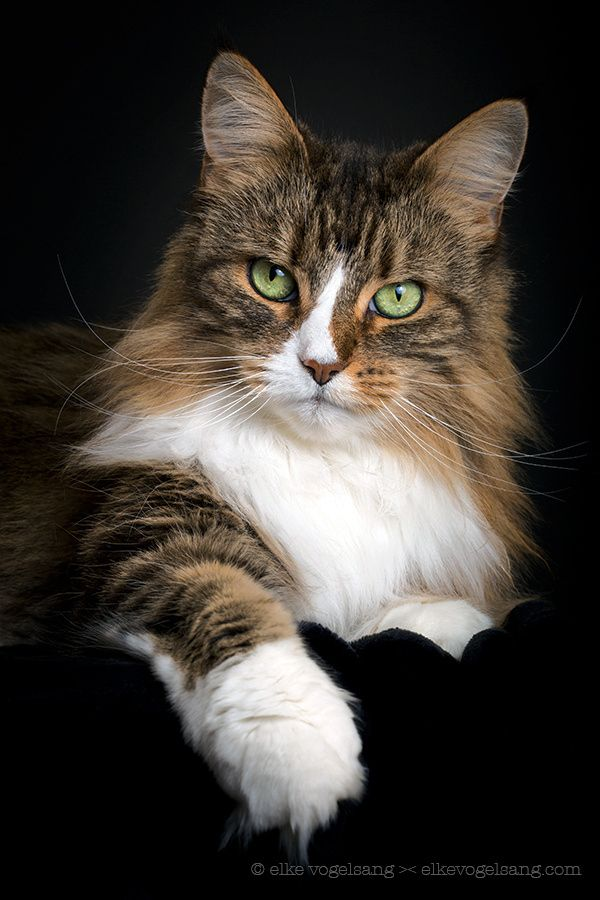 Best Cute Fluffy Cat 2019 Catbreeds En 2020 Avec Images Chats