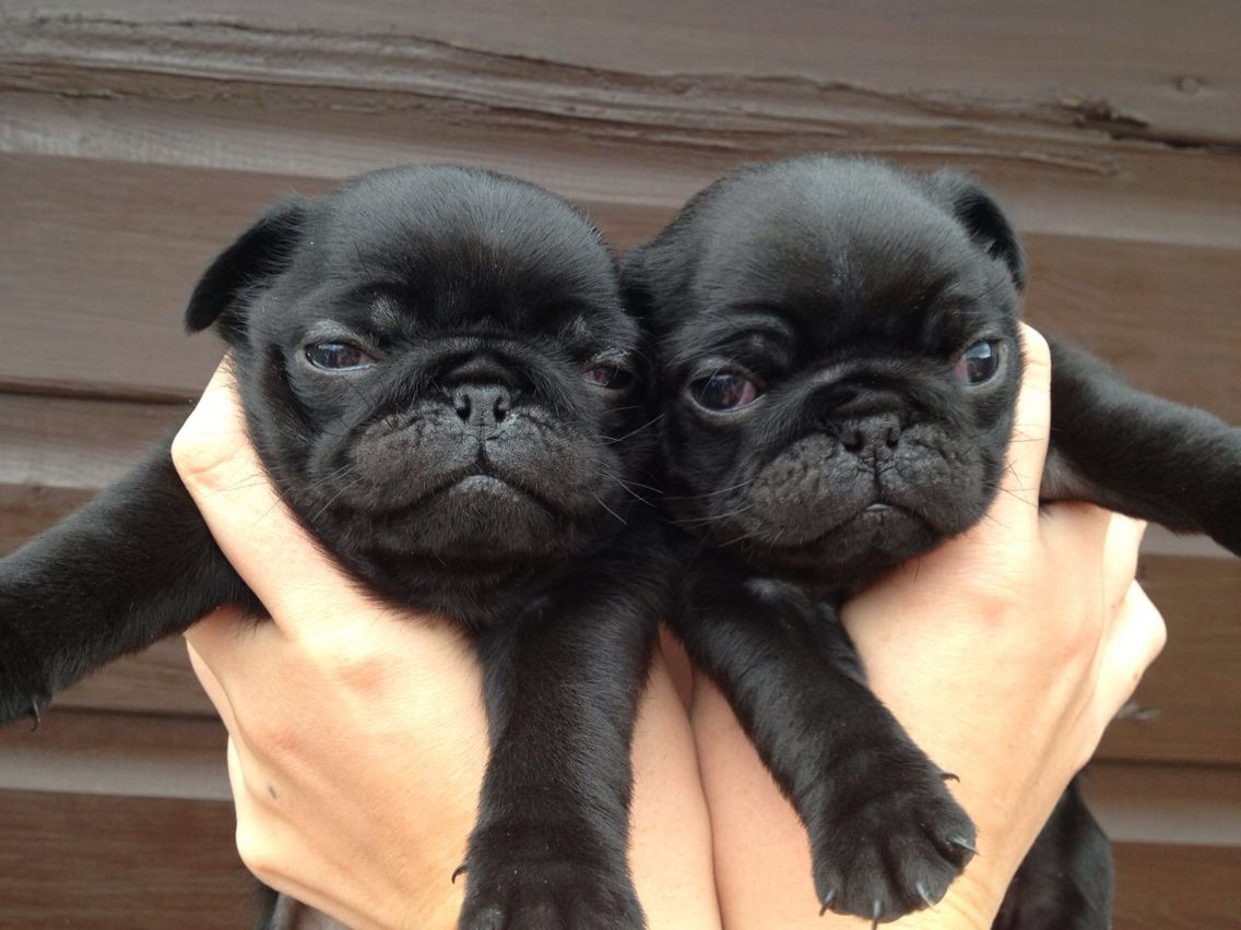 Surprise Pug Puppy Pug Puppies Black Pug Puppies Baby Pugs