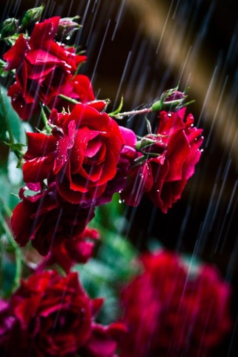 Images of red rose flowers rain