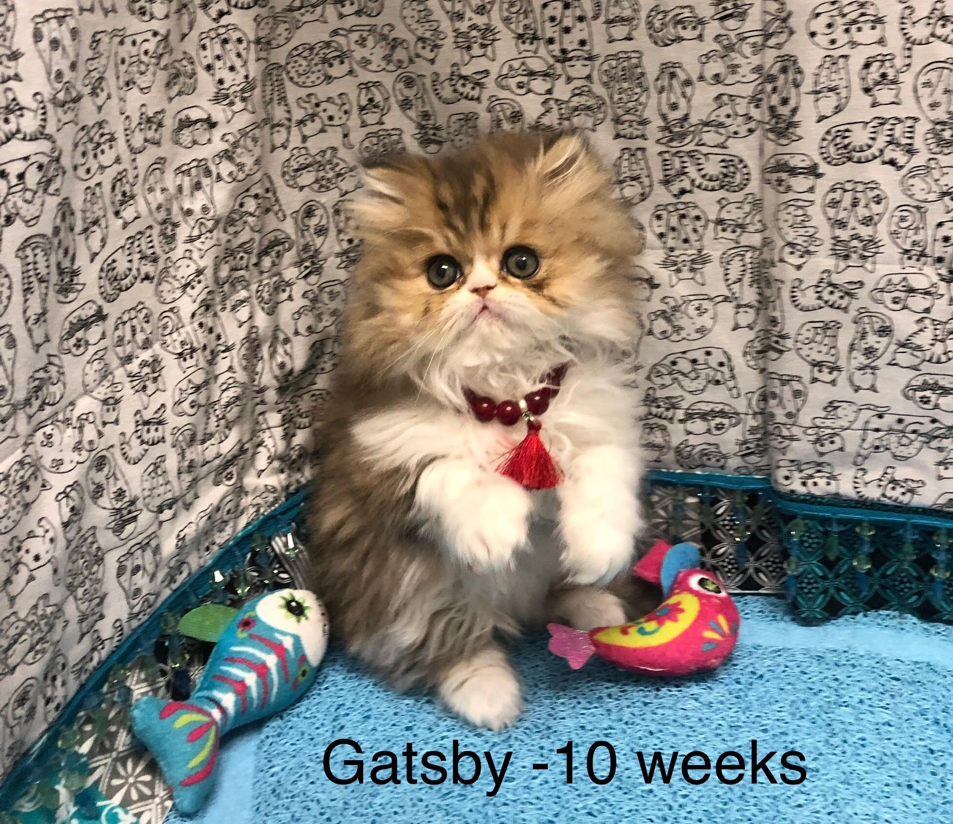 Pin By Kitty Cature Cattery On Gallery Of Persian Kittens For Sale
