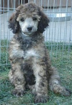 Sable Poodle Puppies Are The Cutest Poodle Poodle Puppy Poodle Dog