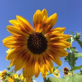 Sunflower Tiger S Eye Mix Helianthus Annuus On Plants Map Plants Map Plants Pollinator Plants