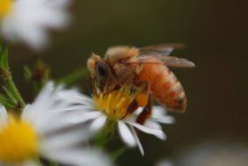 Photograph of a bee taken with a reverse ring for macro and close-up results.