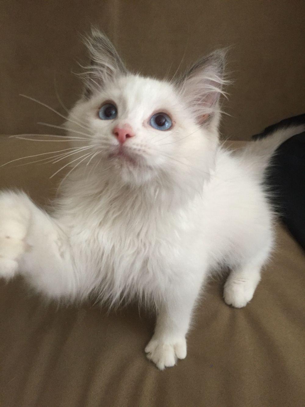 Ragdoll Hank 14 week old blue bicolor kitten 猫
